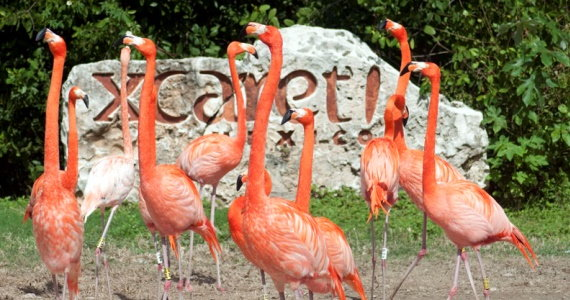 xcaret-flamingos